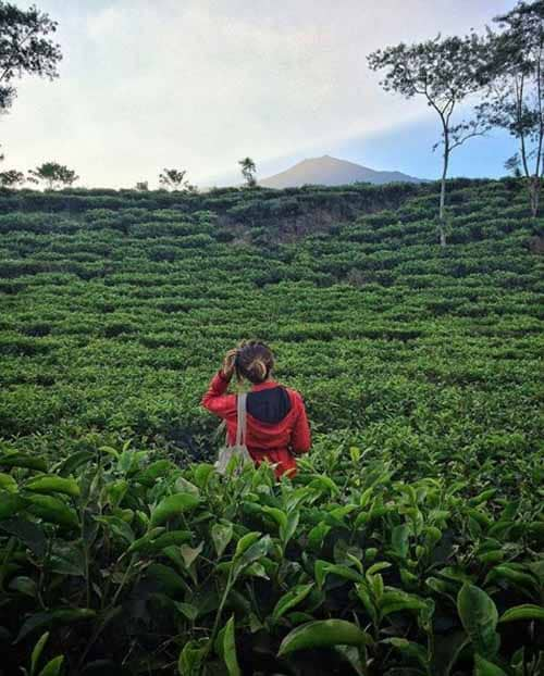 wisata kebun teh wonosari