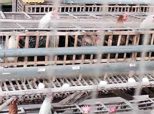 Jendela Alam Ayam