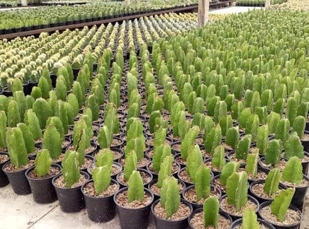 Kebun-Begonia-Kaktus