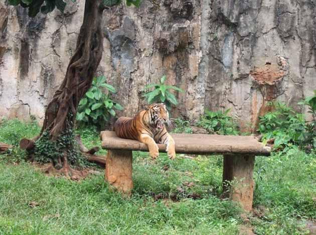 Kebun Binatang Ragunan Harimau
