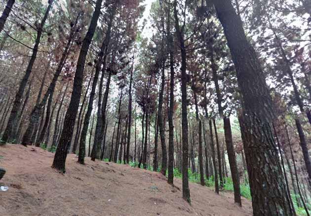 Puncak Bintang Pinus