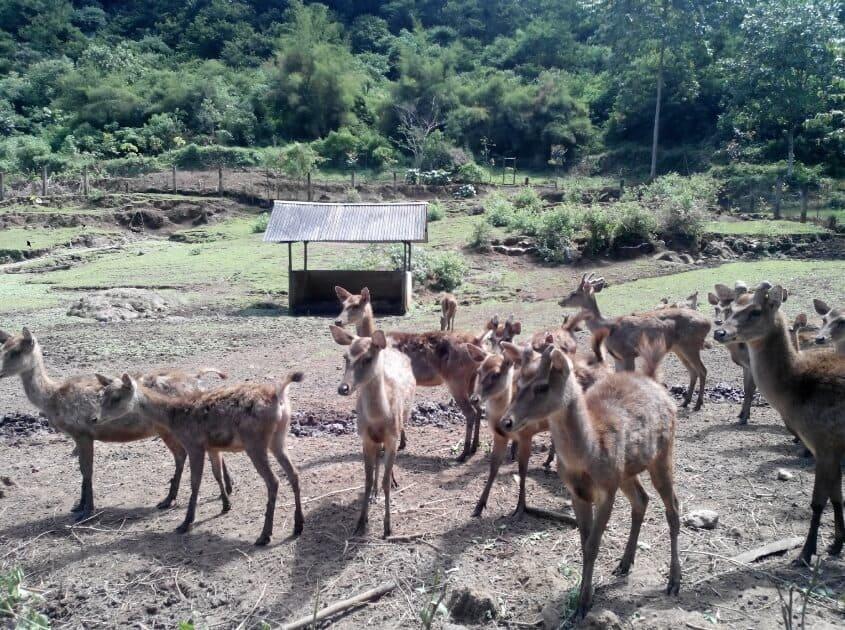Taman-Hutan-Raya-Juanda-Rusa