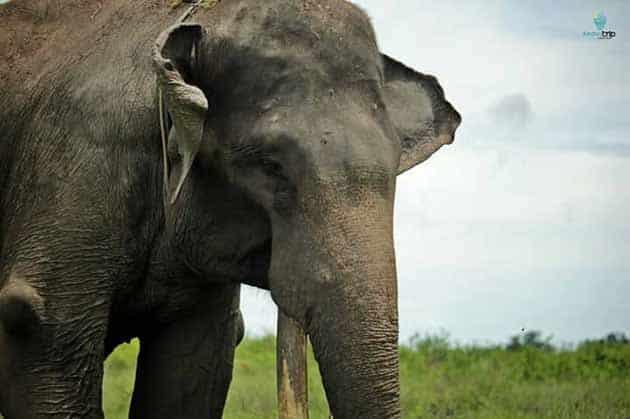 Way Kambas Gajah Besar