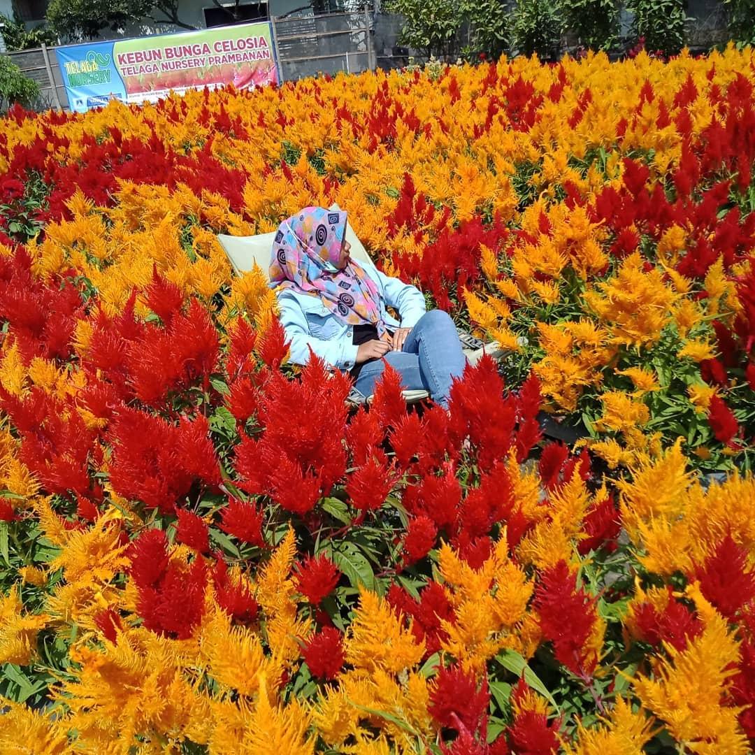 Kebun Bunga Celosia Telaga Nursery 2
