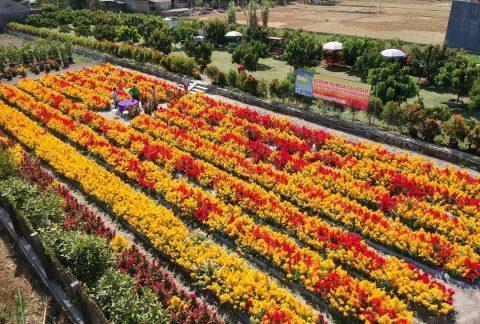 Kebun Bunga Celosia Telaga Nursery 1