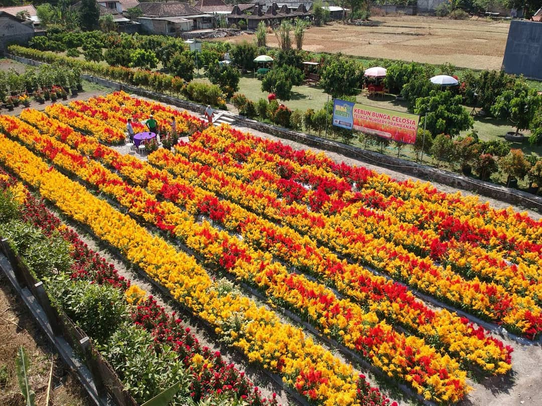 Kebun Bunga Celosia Telaga Nursery 3