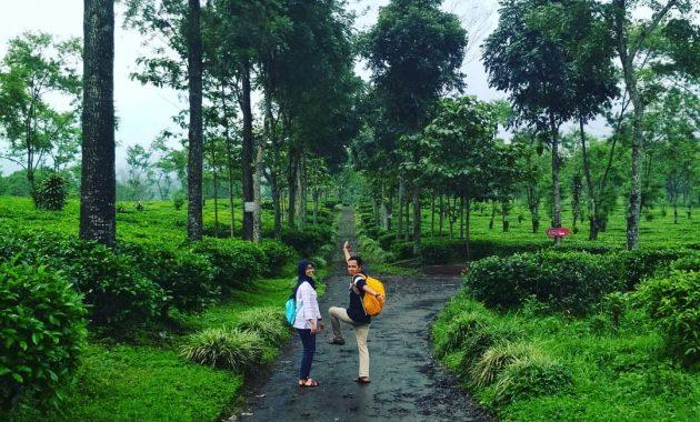Wisata Petik Teh Di Kebun Teh Wonosari Malang Jawa Timur 4