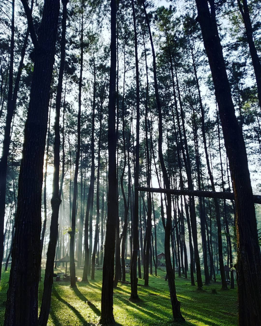pohon hutan pinus tulungrejo