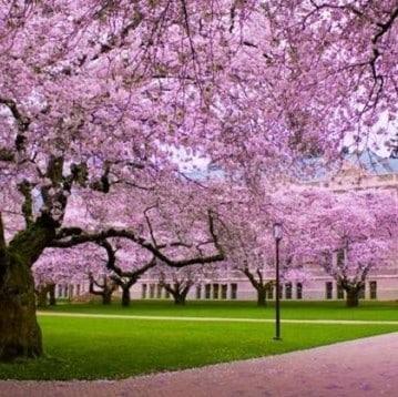 Pink taman sakura cibodass